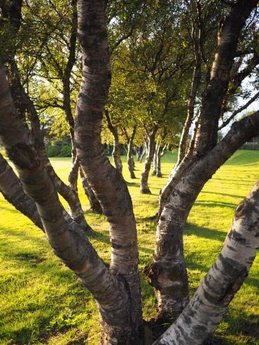 Trees align in Vatnsmýri