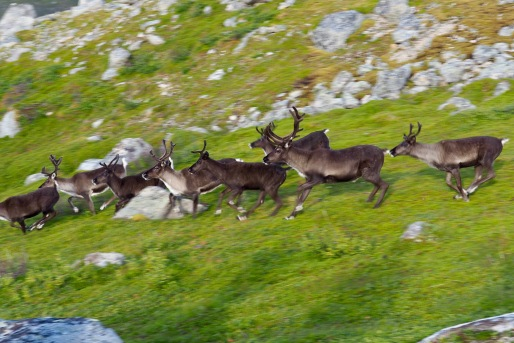 Reindeer trotting alongside us on the way down from Skamtinden
