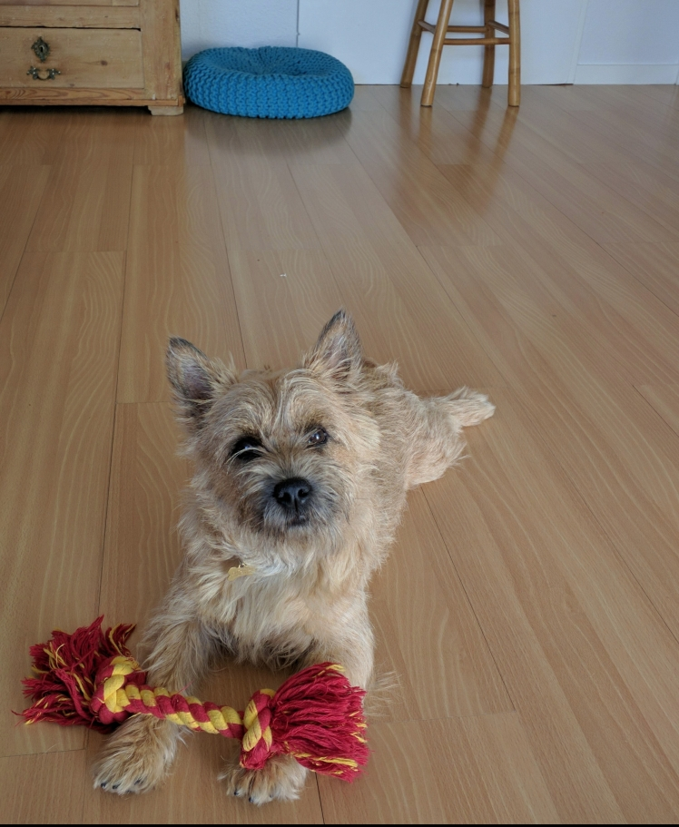 Villas the Cairn Terrier